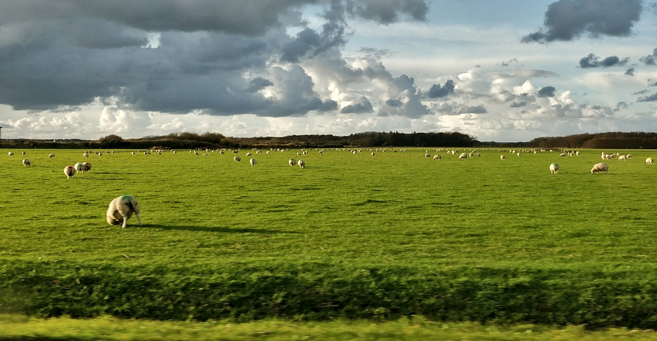 Sheep on Texel, Netherlands.